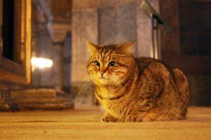 Ayasofya'nın kedisi