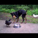 doberman-tavuk-ekmek-kavgası
