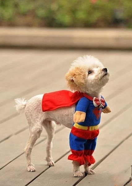 superman-kıyafeti-giyen-kopek-427x600