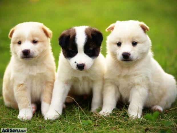 kopek cesitleri 620x465 Köpeğiniz Asyalı mı, Avrupalı mı?