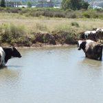 sıcaklar-inekler