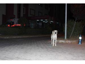 sokak kpklri Aydın'da Sokak Köpekleri Korku Salmaya Başladı