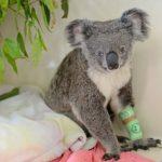 van-kedisi-degil-koala-159126-5