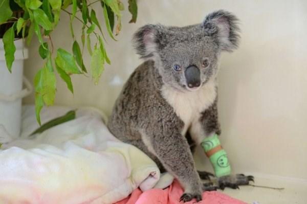 van kedisi degil koala 159126 5 Van kedisi değil koala