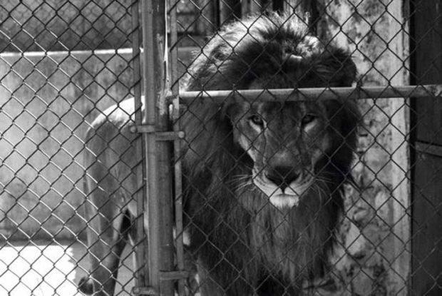 arjantin hayvanat bahcesı 1 620x415 Arjantinde hayvanlar, hayvanat bahçesinde yaşamayacak