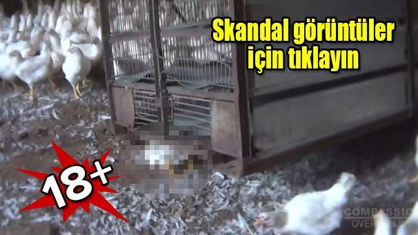 kumes hayvanlarina inanilmaz zulum 7495979 Kümes hayvanlarına inanılmaz zulüm