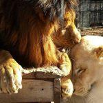 olmek-uzere-olan-aslani-sevgi-kurtardi-7511618