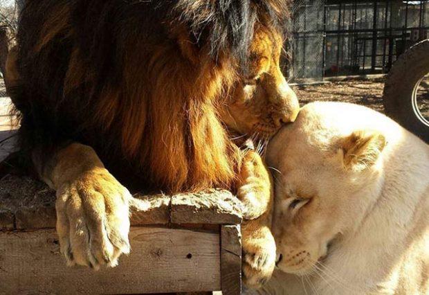 olmek uzere olan aslani sevgi kurtardi 7511618 620x426 Ölmek üzere olan aslanı aşk kurtardı