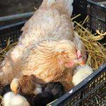 yeşil yumurtlayan tavuk