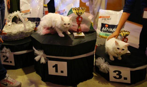 kedi festivali 620x368 'En güzel kedi' festivali