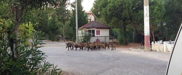 domuz surusu marmarise inditeuSOdWalEmm CAhMPl3 Q Aç kalan domuz sürüsü Marmarise indi
