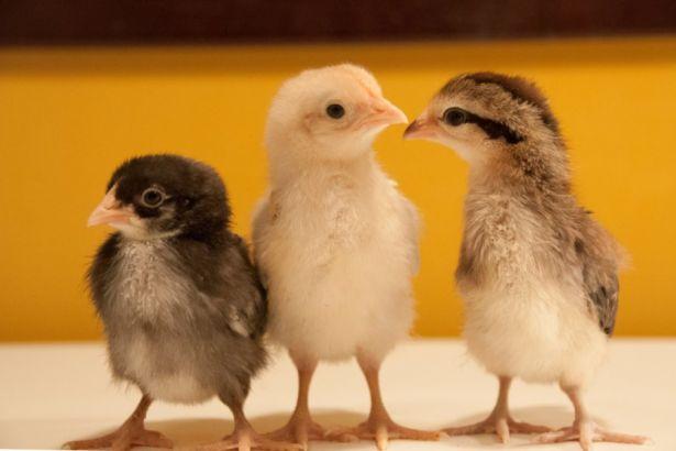 melez civcivler Yaban hayatına dönüş: Evcilleştirmenin tersi mi?