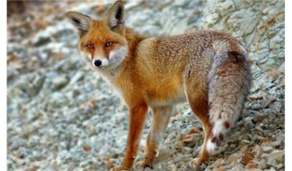 Ankarada fotokapanlar sayesinde birçok hayvan görüntülendi