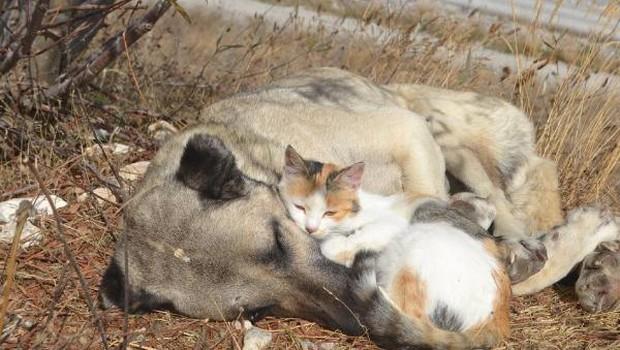 kedi köpek dostluğu Kedi ile köpeğin şaşırtan dostluğu