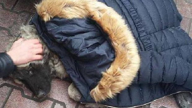 yaralı köpek Sıfır derecenin altında, montunu çıkartıp yaralı köpeğin üzerine örttü