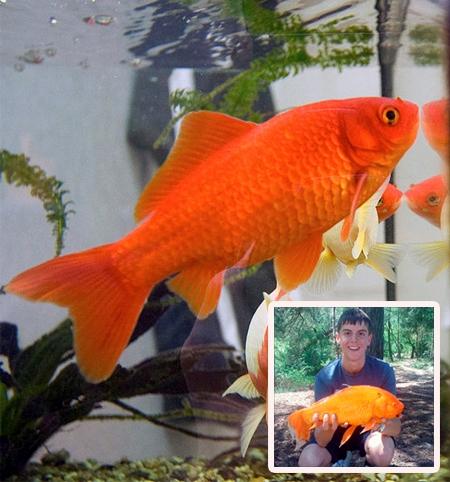 1 kg ağırlığındaki, 40 cm uzunluğundaki Japon Balığı Goldie