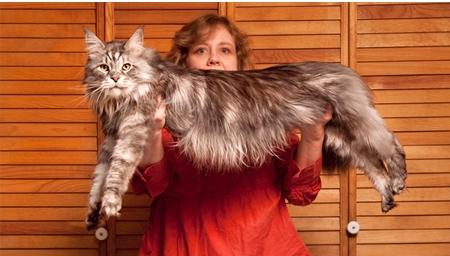 123 cm'lik uzunluğuyla dünyanın en uzun kedisi Stewie
